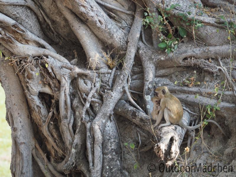 Pavian-Baby-Namibia