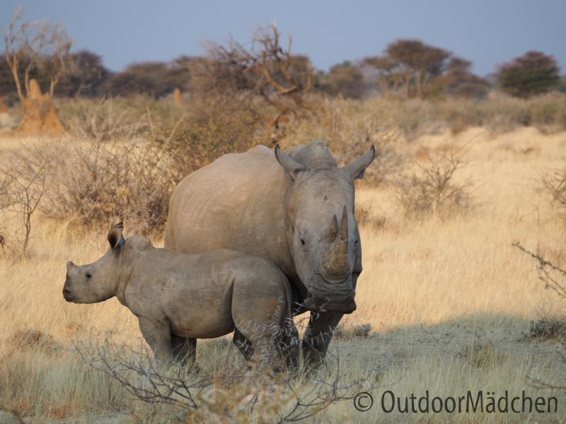 weisse-rhinos-namibia-wildfarm