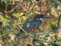Eisvogel-Art-Namibia-Okavango