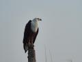 Schreiseeadler-Namibia-Tierwelt