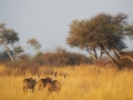 Khudu-Antilopen-Namibia